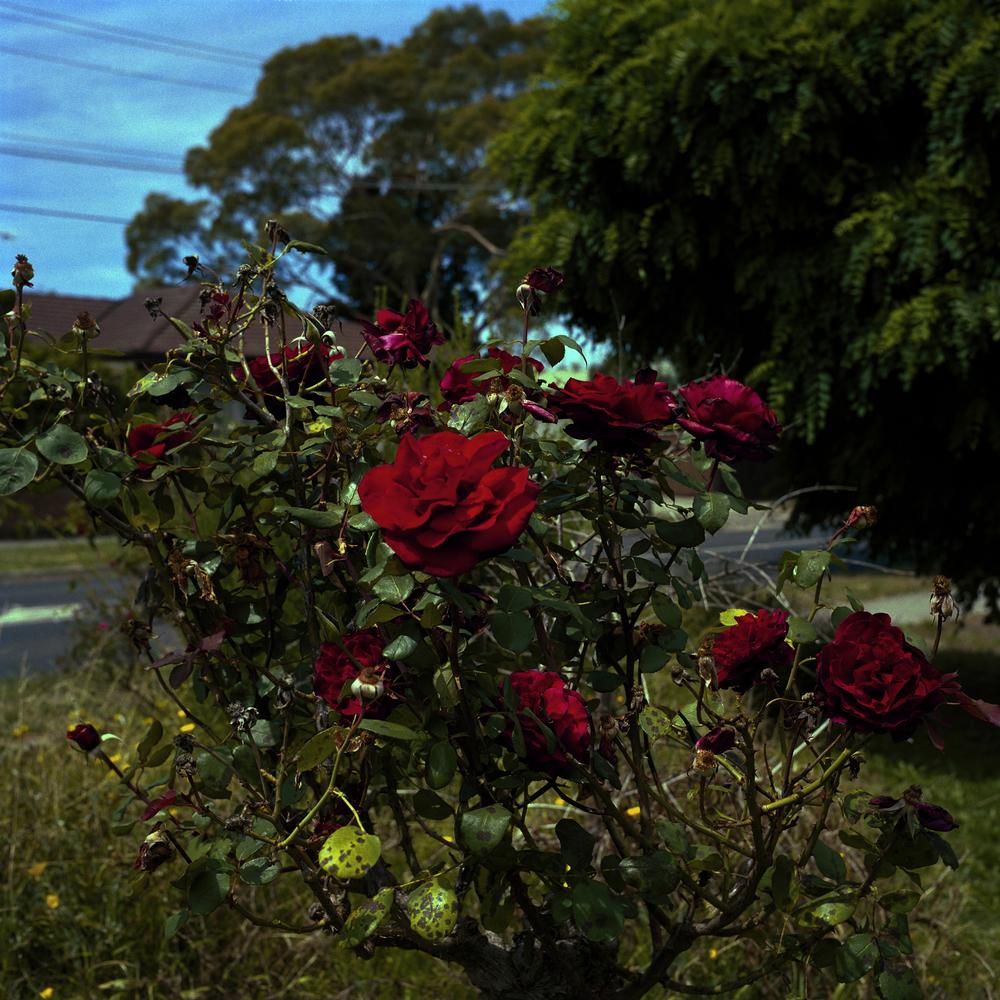Diseased Roses (2010)