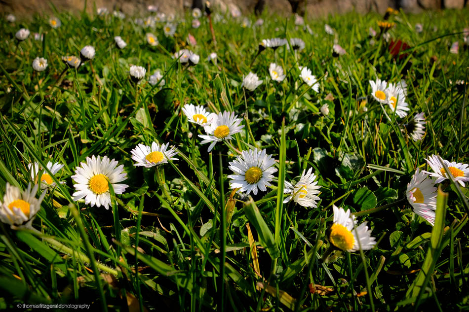 Daises on the Fuji X-10