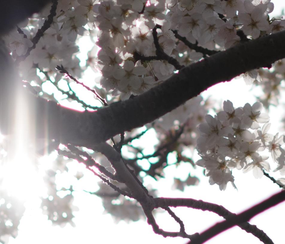 Cherry blossom 100 ca