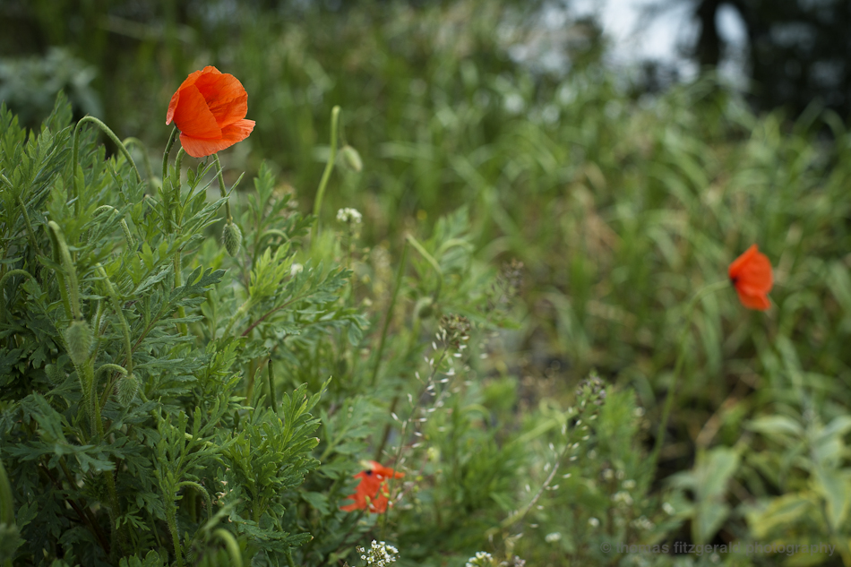 red poppys - Fujifilm X-Pro1