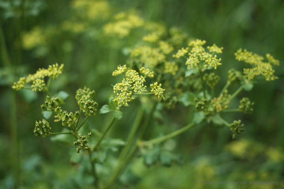 yelow flowers - Fujifilm X-Pro1
