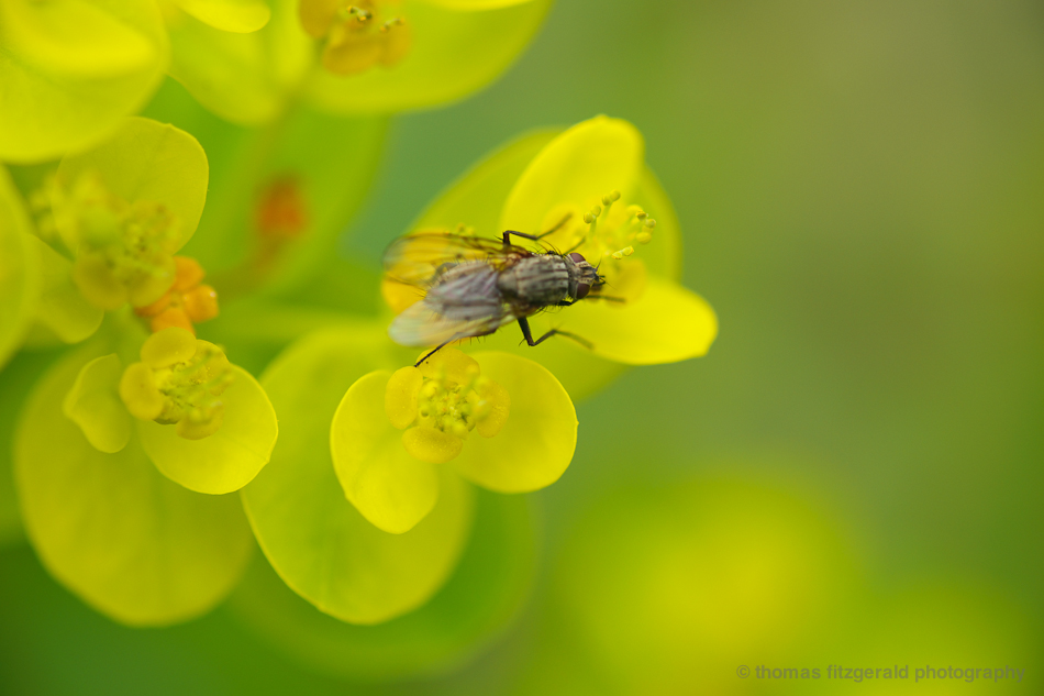 fly macro Fuji 60mm