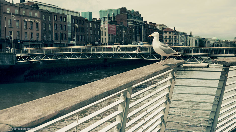seagull on the dublin board walk