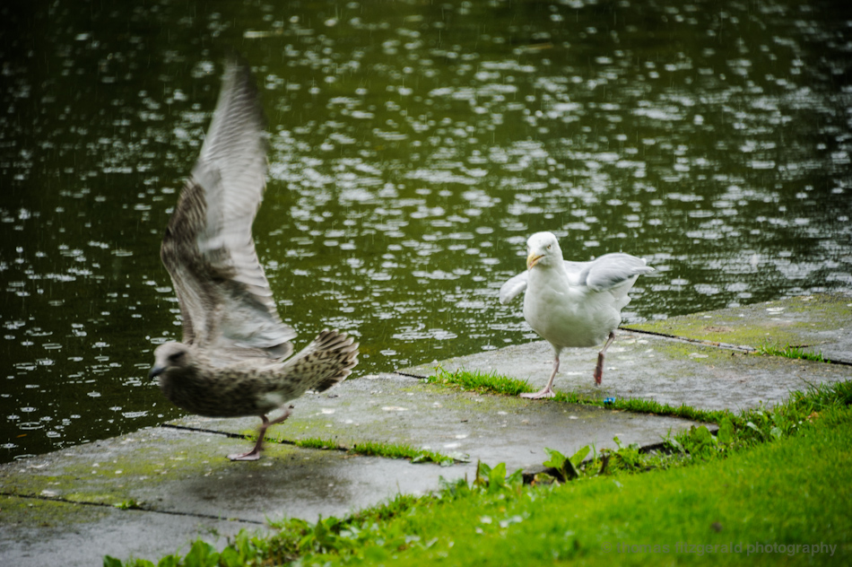 Bird escapes from other angry seagull