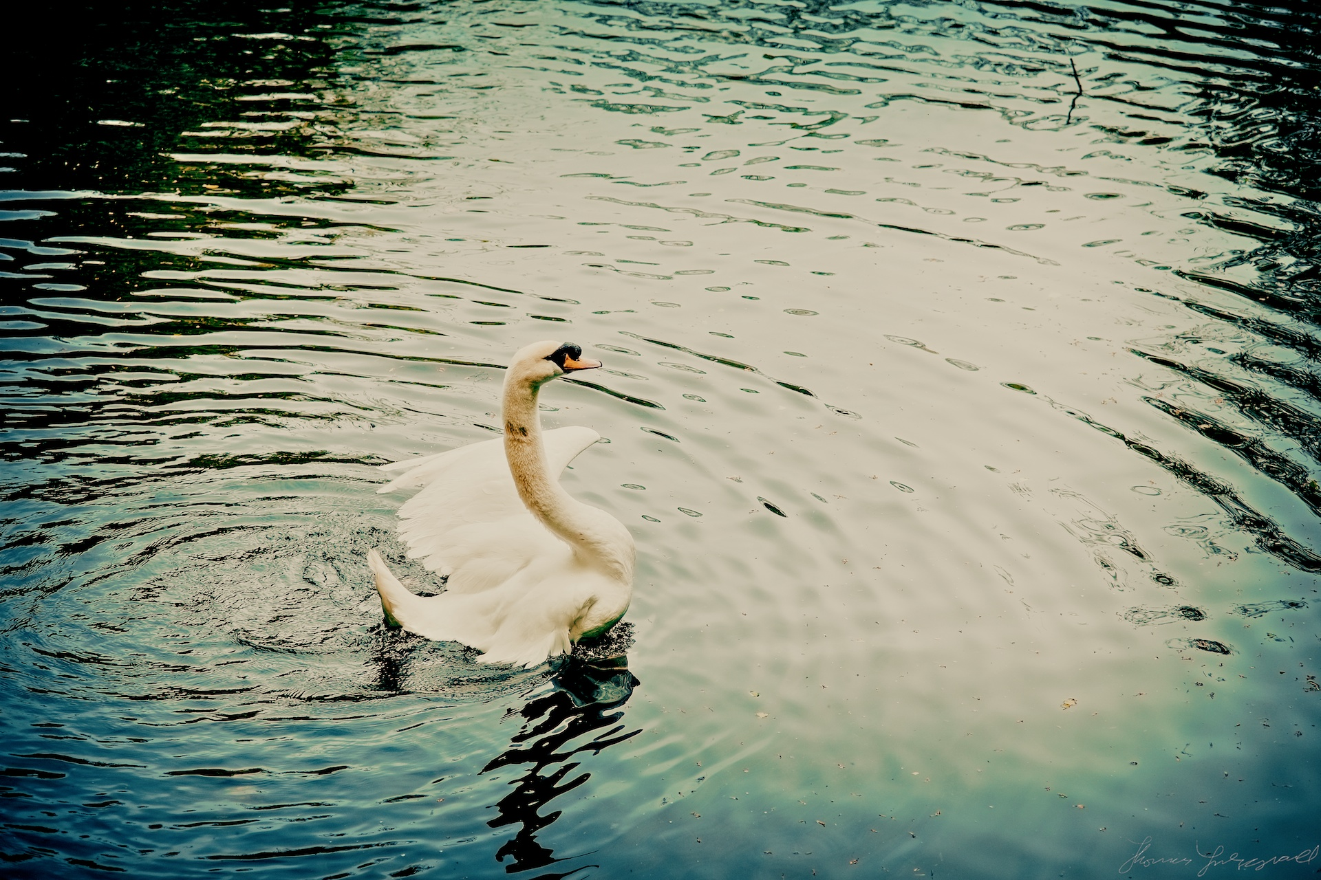 A Swan Stretches