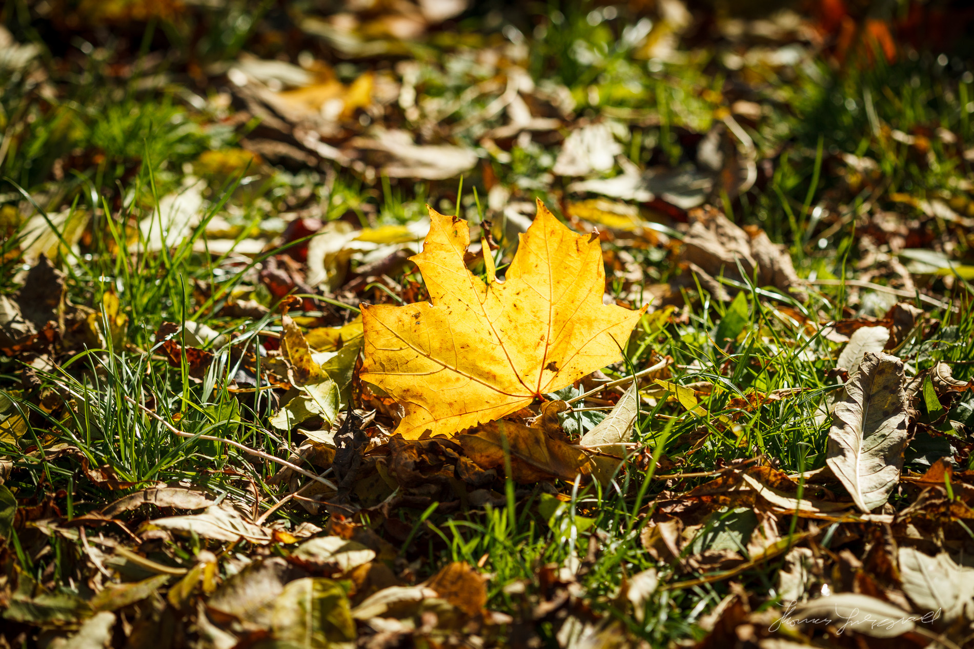 Yellow fallen leaf standing up in the grass