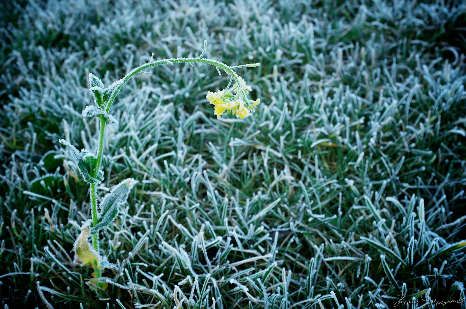 Frost covered yellow flower