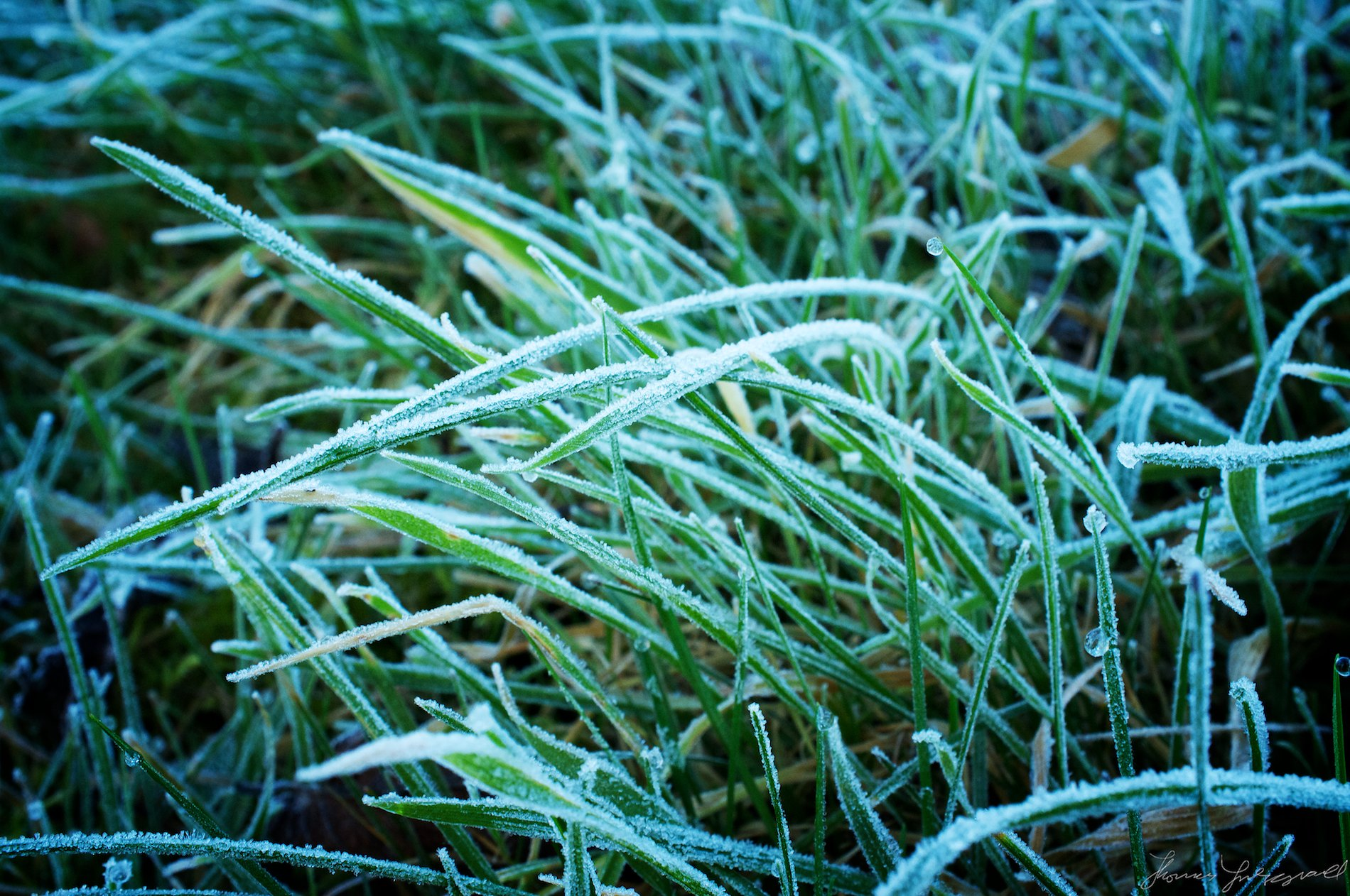 Frozen Grass and Frost