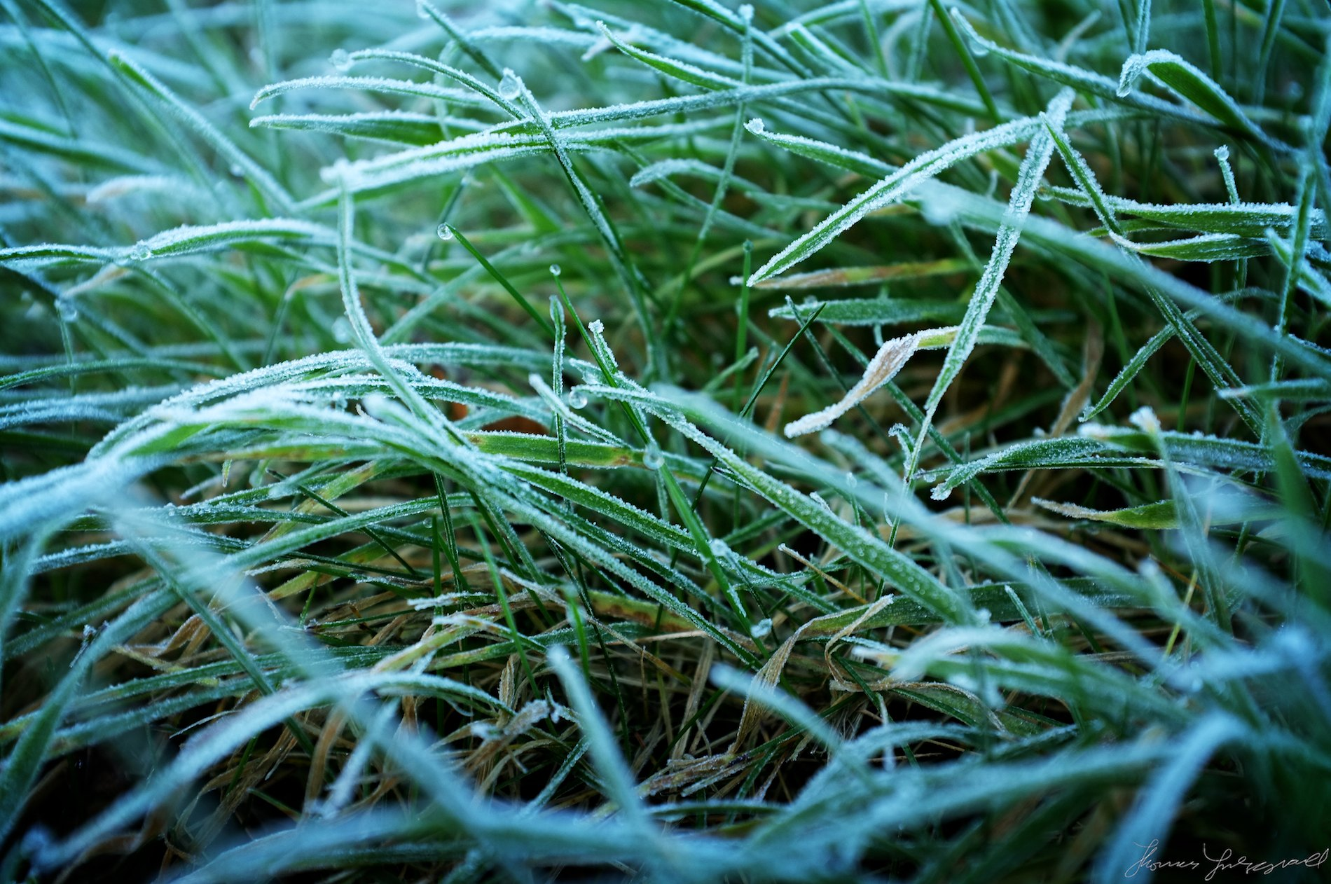 Frozen dew in the grass