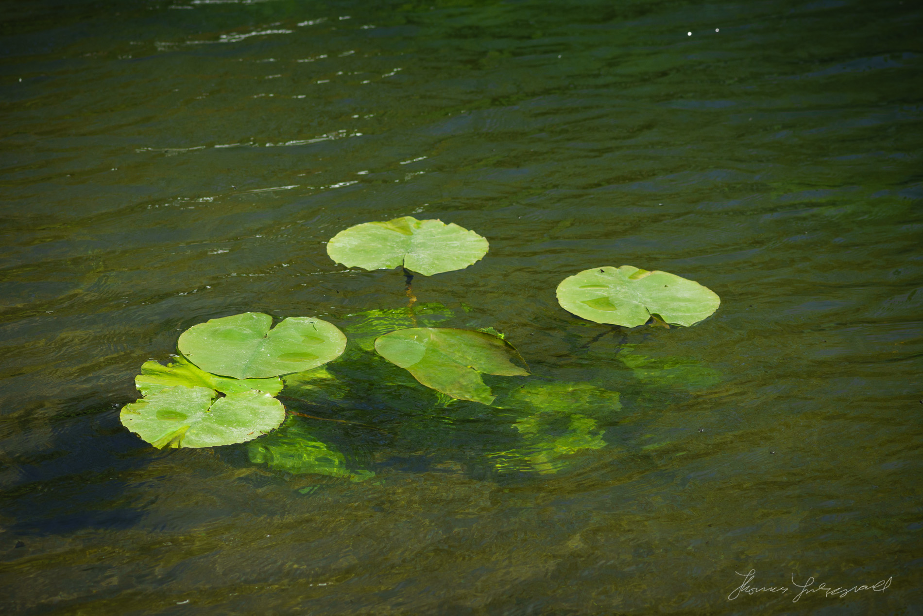 Water Lilies in the Canal