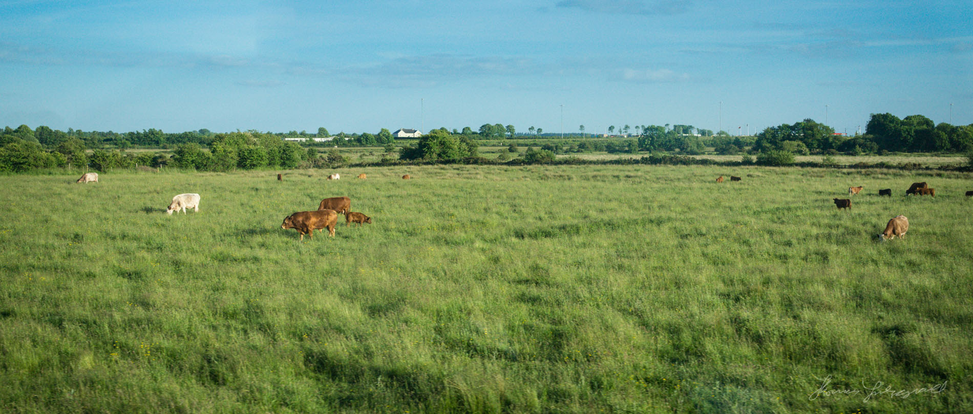 More Cows in the Midlands