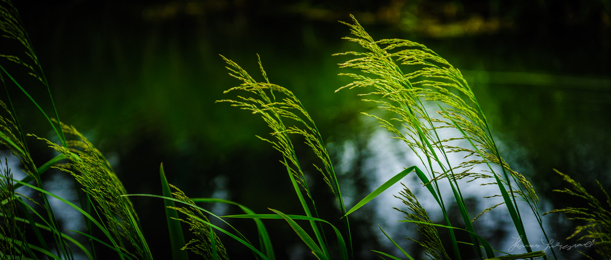 Long Grass by the canal