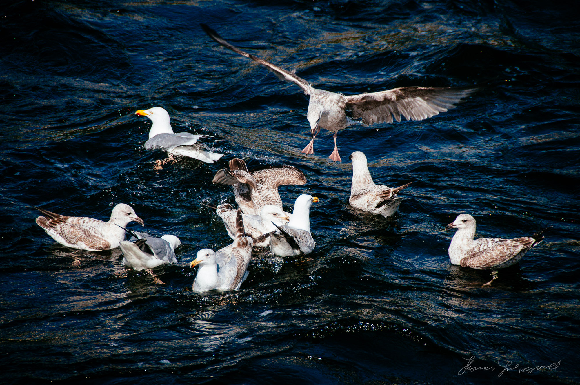 Seagulls Feeding in the river corrib that runs through galway city in Ireland