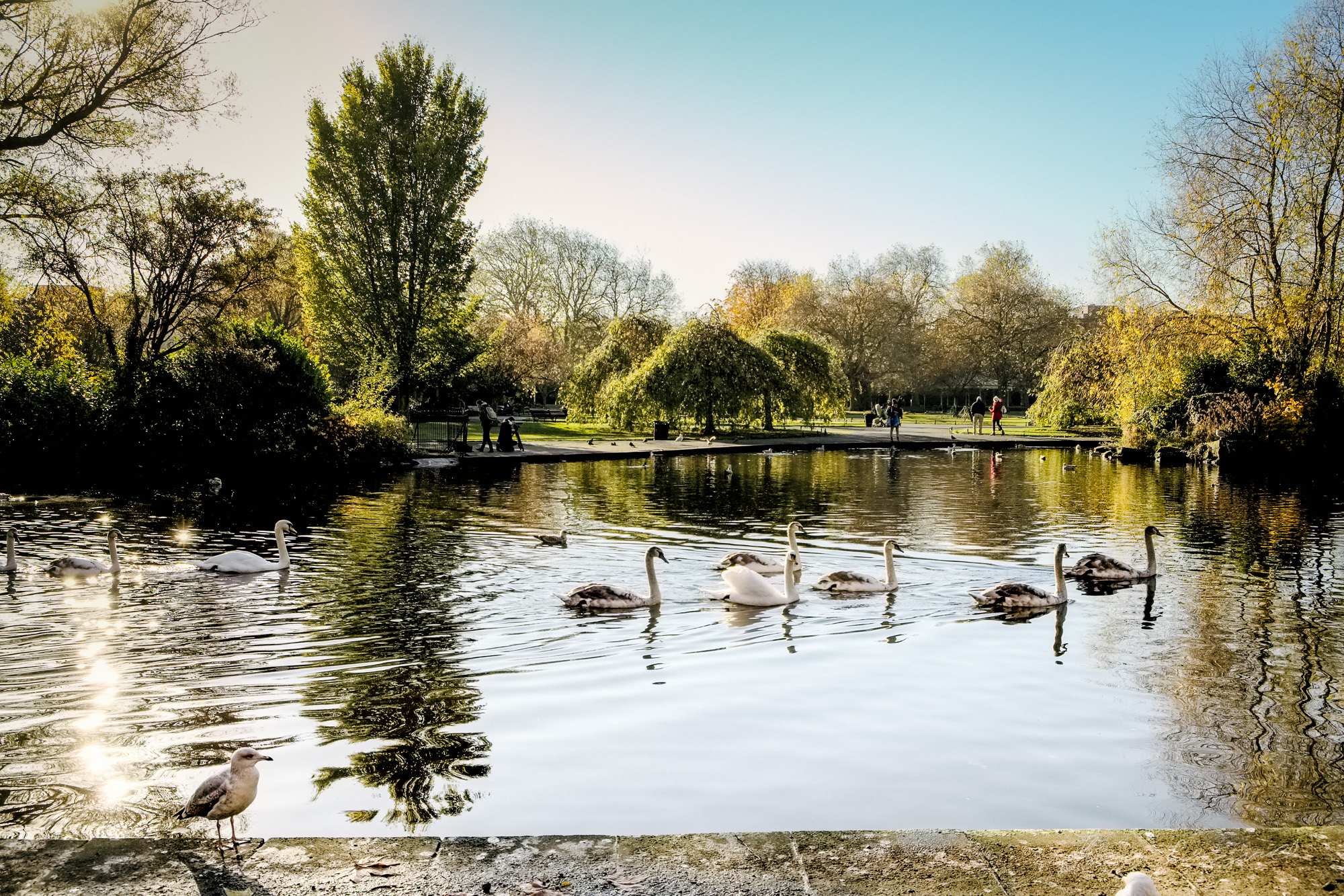 Swans on the Lake - Taken with a Fuji XE1