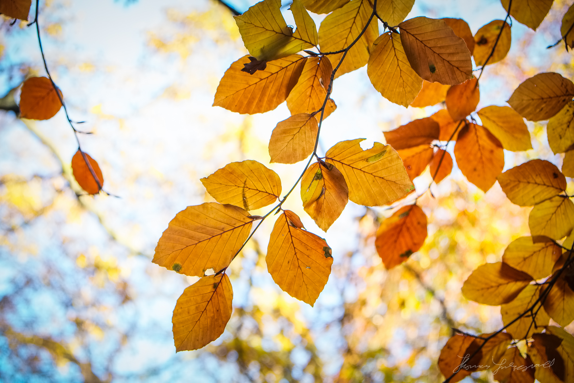 Brown leaves and a Golden Sky - Taken with a Fuji XE1