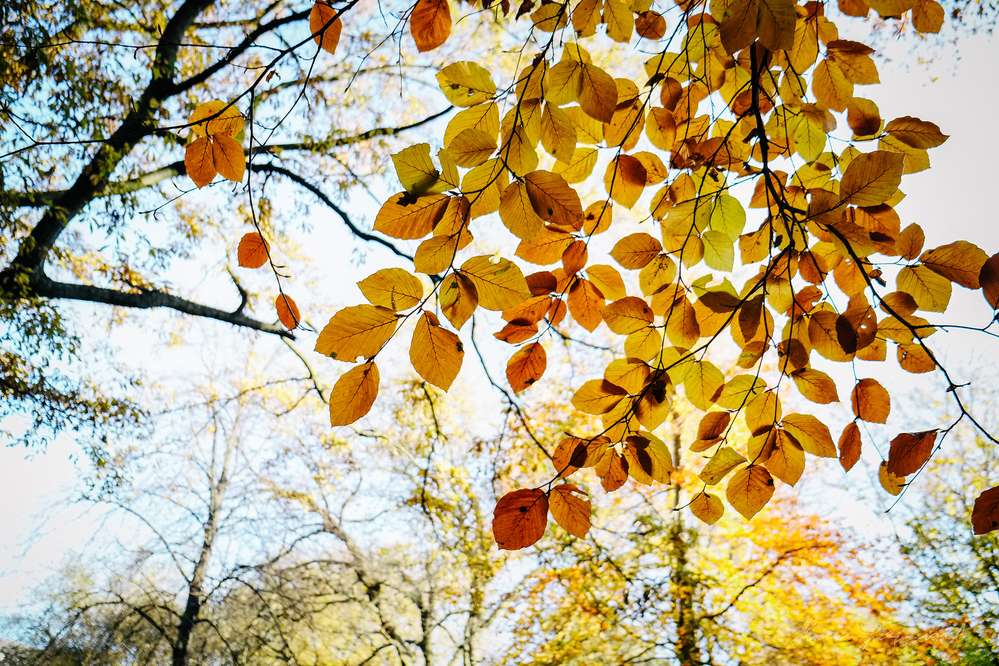 Gold and Brown leaves- Taken with a Fuji XE1