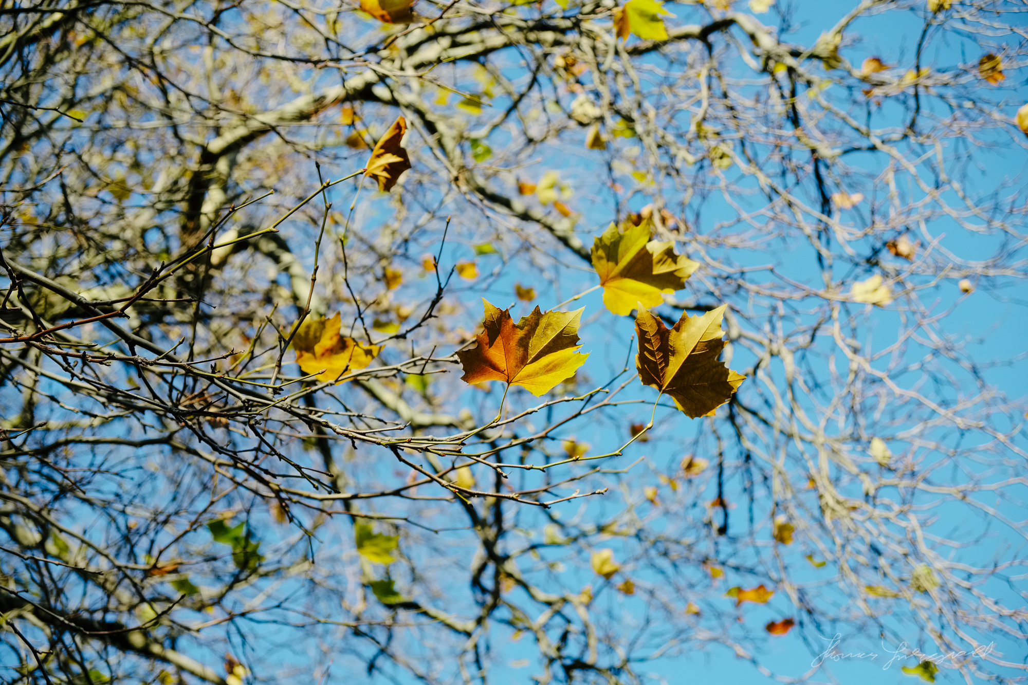 The last few leaves - Taken with a Fuji XE1