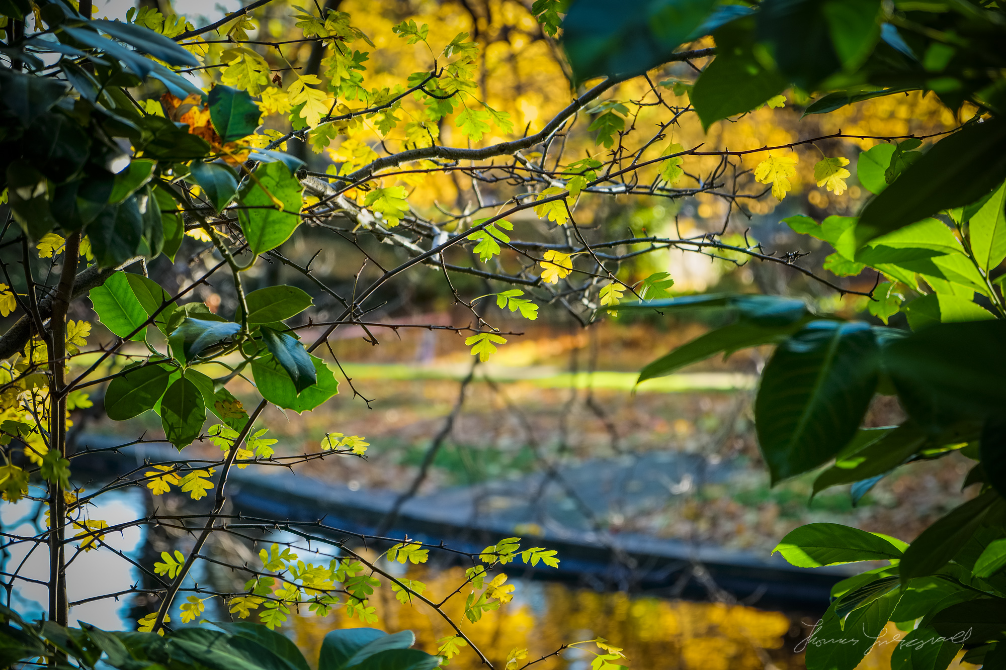 Yellow and Green Leaves - Fujifilm XE-1