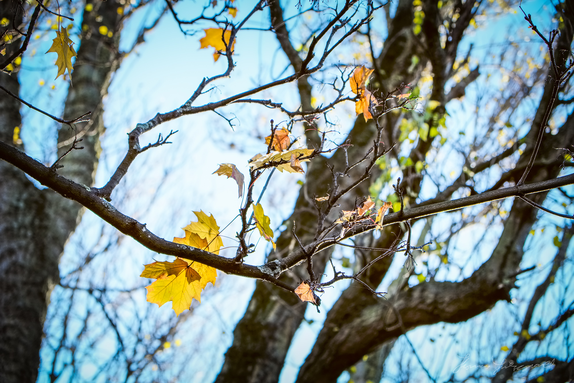 Golden Leaves Hanging On - Taken with Fuji XE1