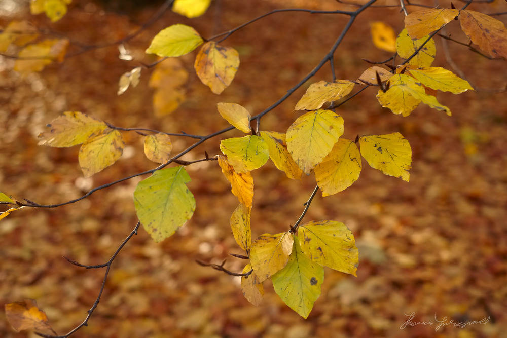 Yellow Leaves - Fuji XE1, Processed with Iridient Developer