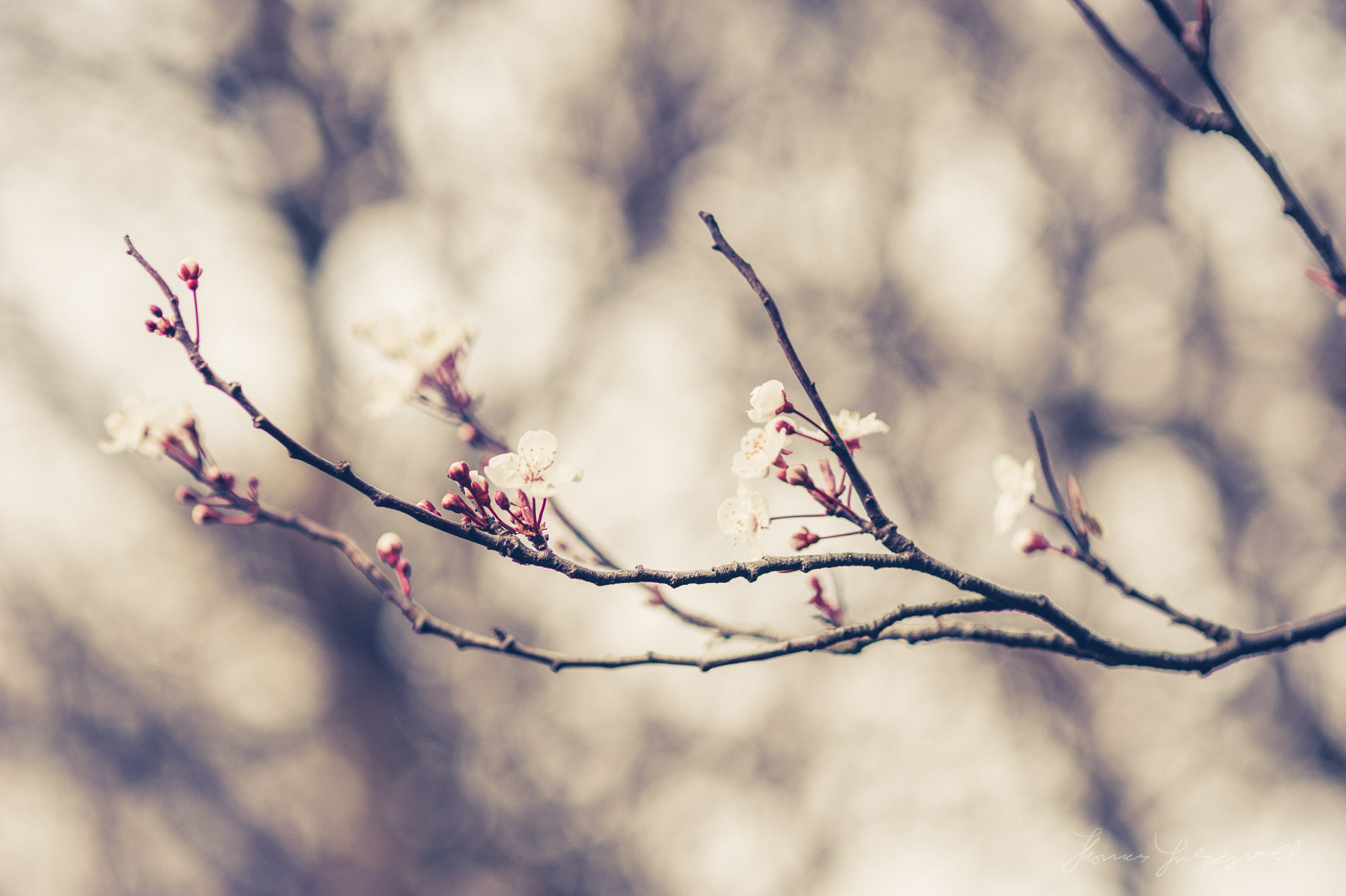 Cherry Blossom Buds beginning to Bloom - Graded with Film Candy for Lightroom