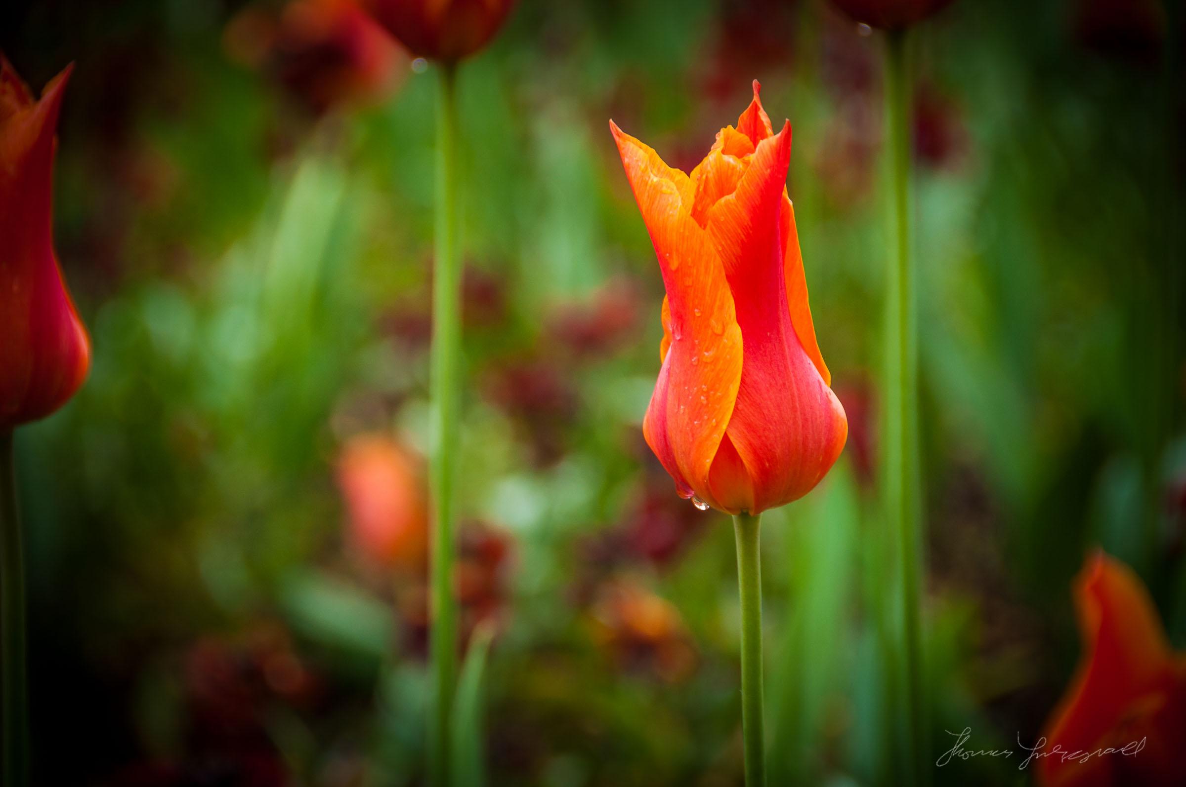 A Lone Red Tulip