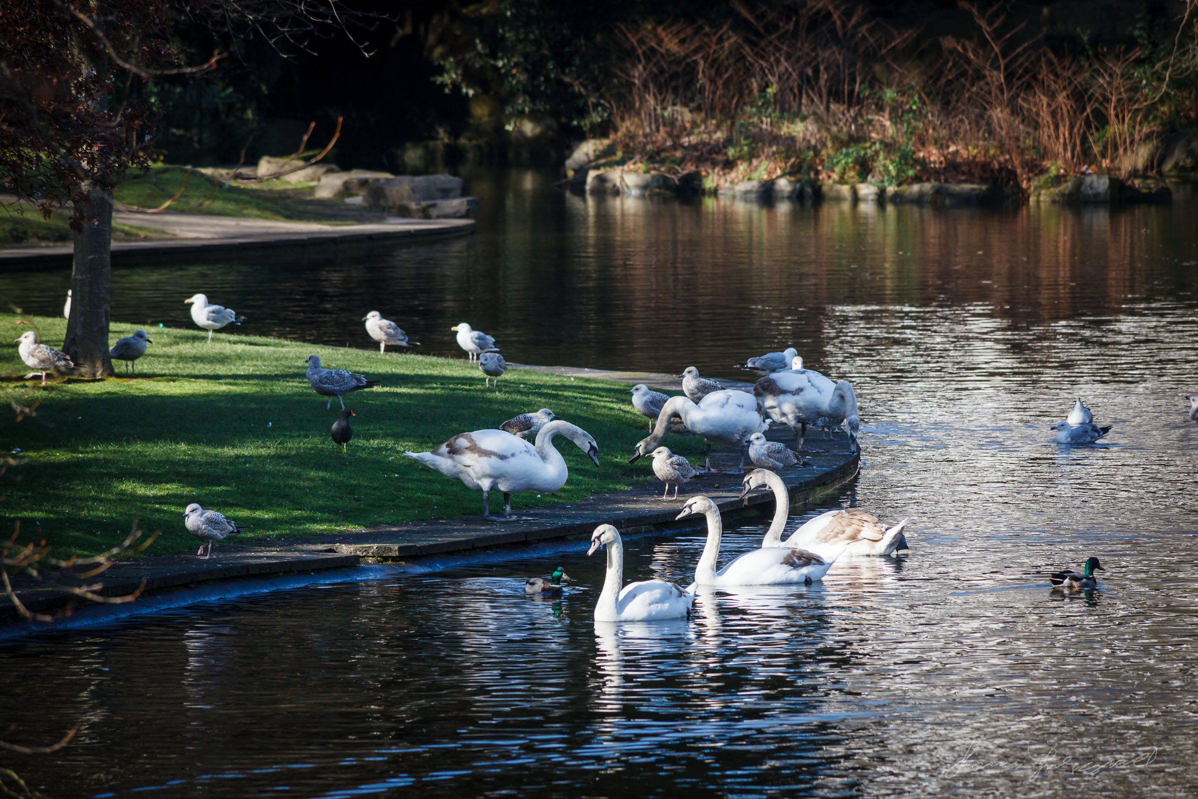 Dublin Swans in Stephen's Green