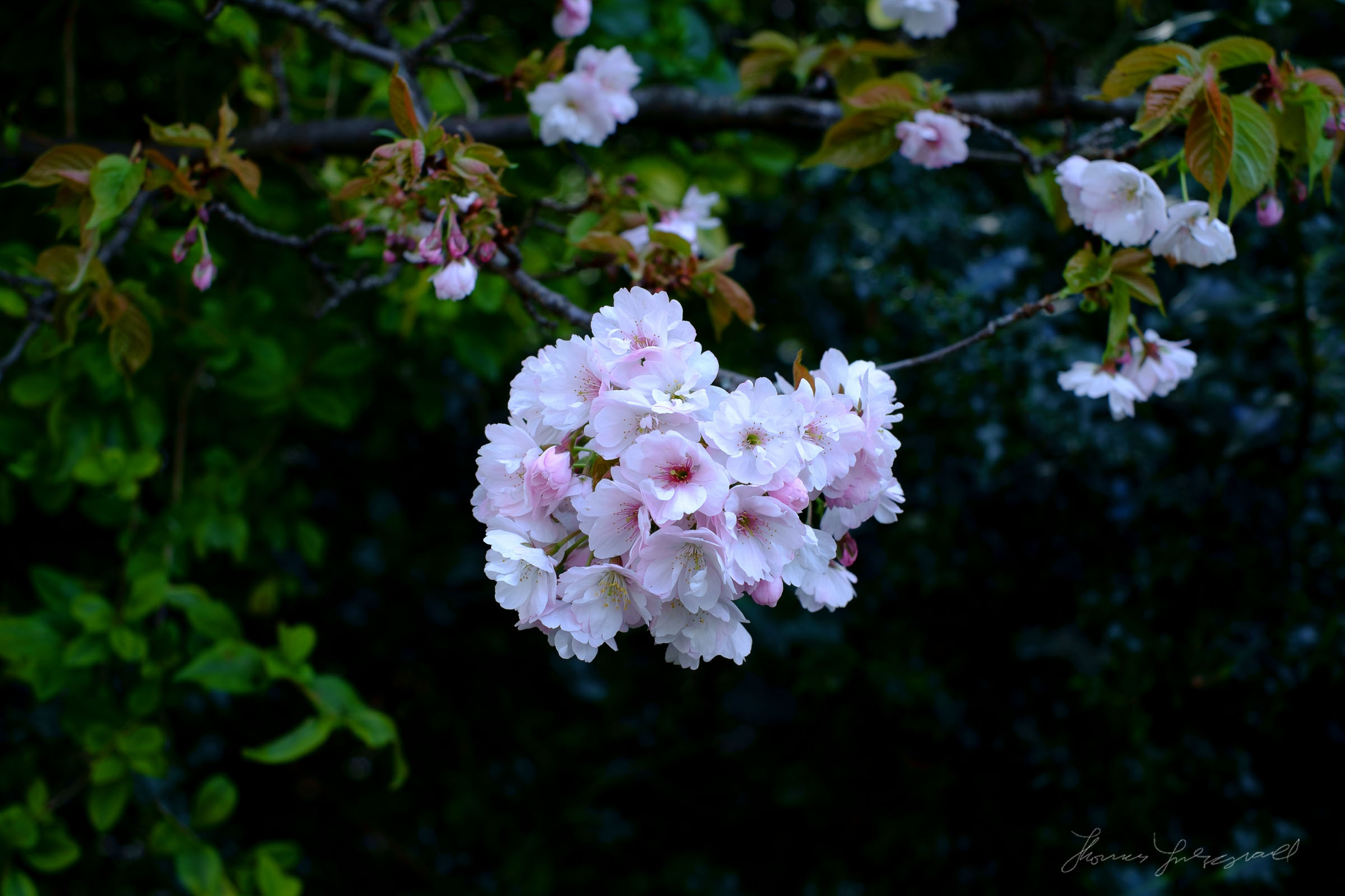 Cherry Blossoms Velvia