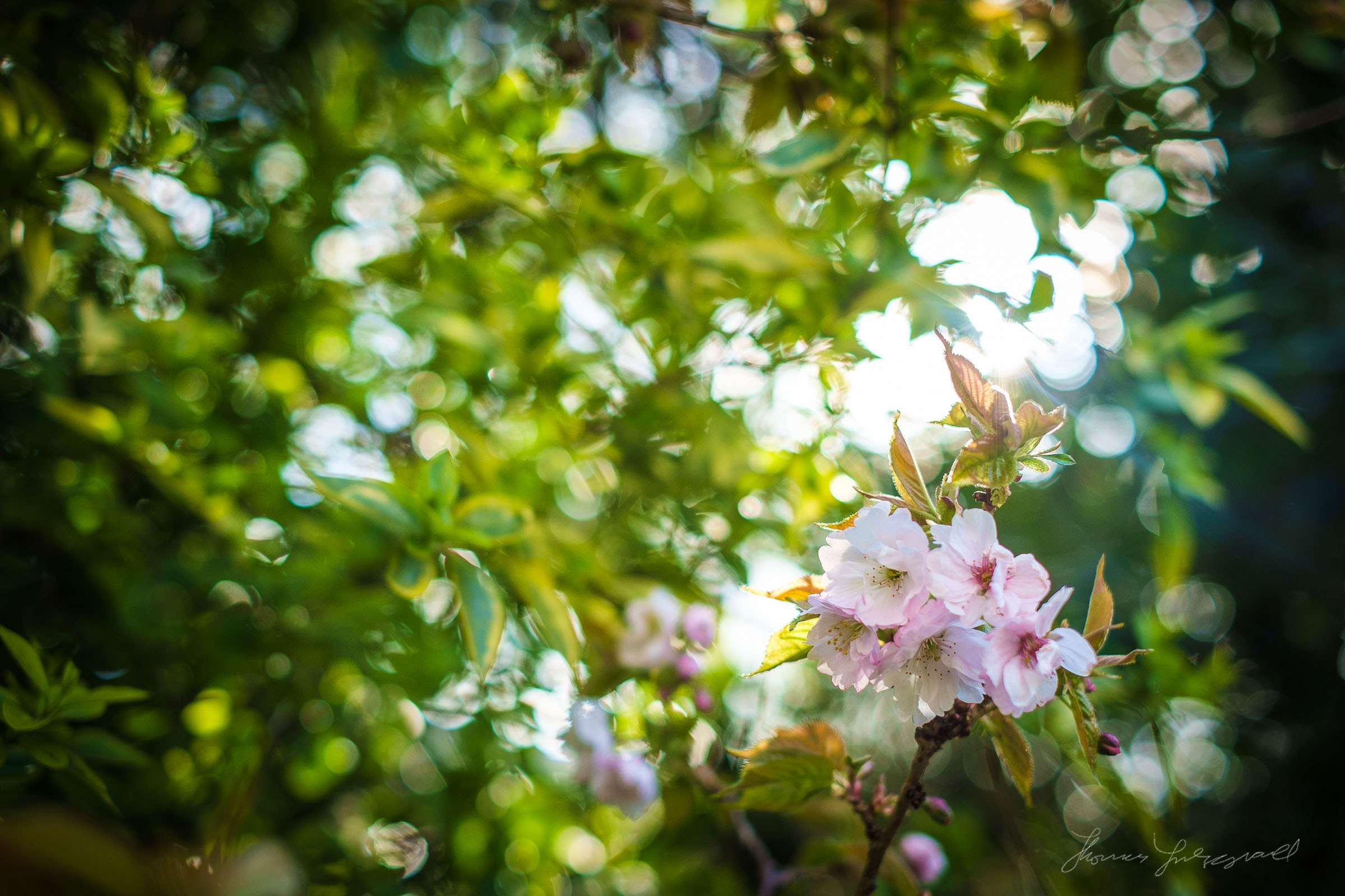 Cherry Blossom Bokeh and Flare
