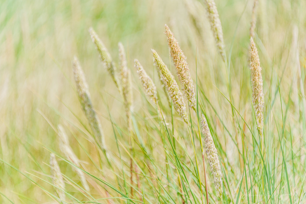 Long Grass on the shores of Bull Island