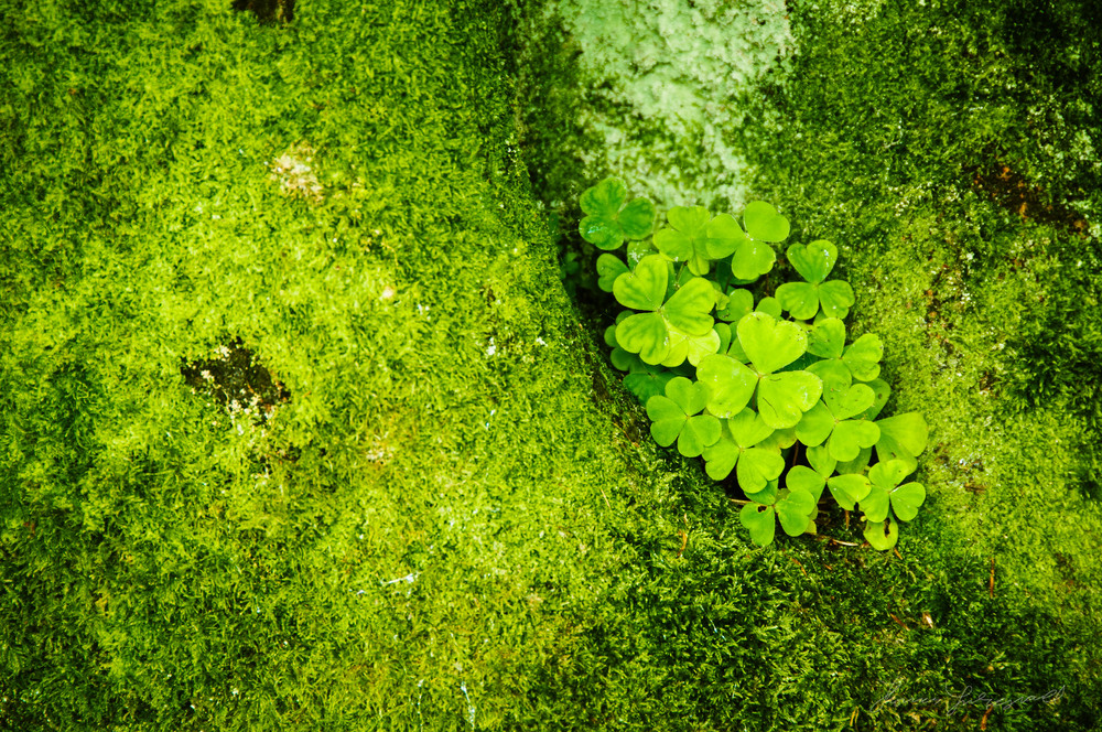 Shamrocks - With Landscape Gold Lightroom Presets Applied