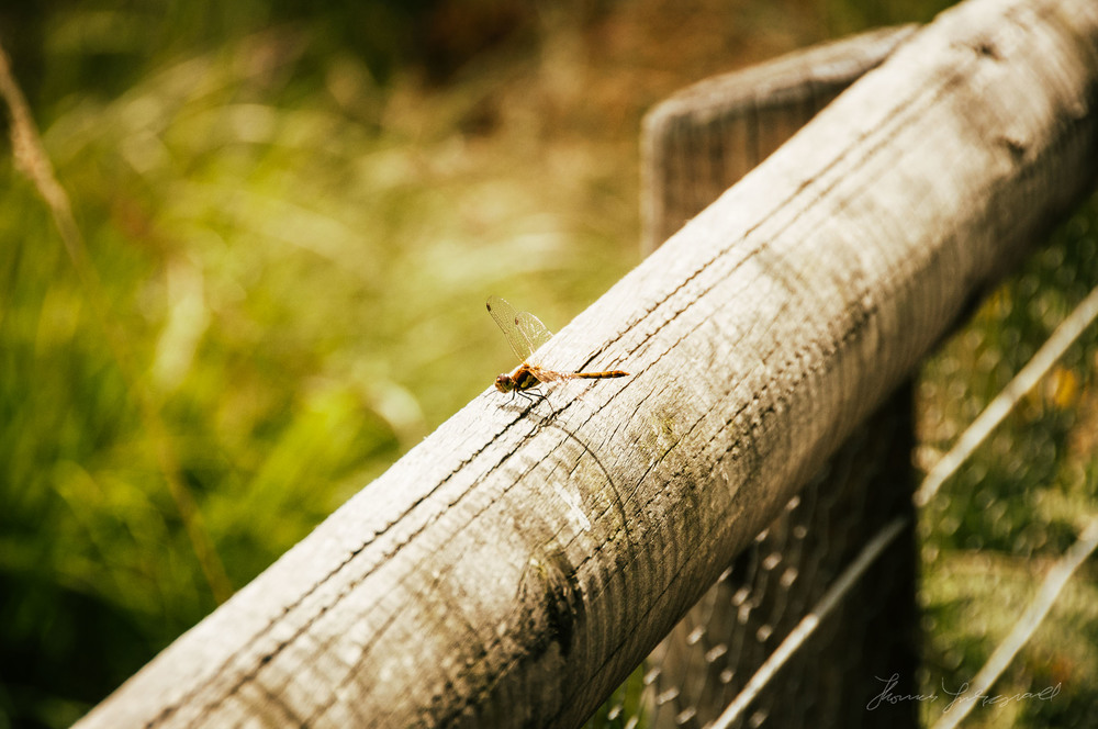 Dragonfly - With Landscape Gold Lightroom Presets Applied