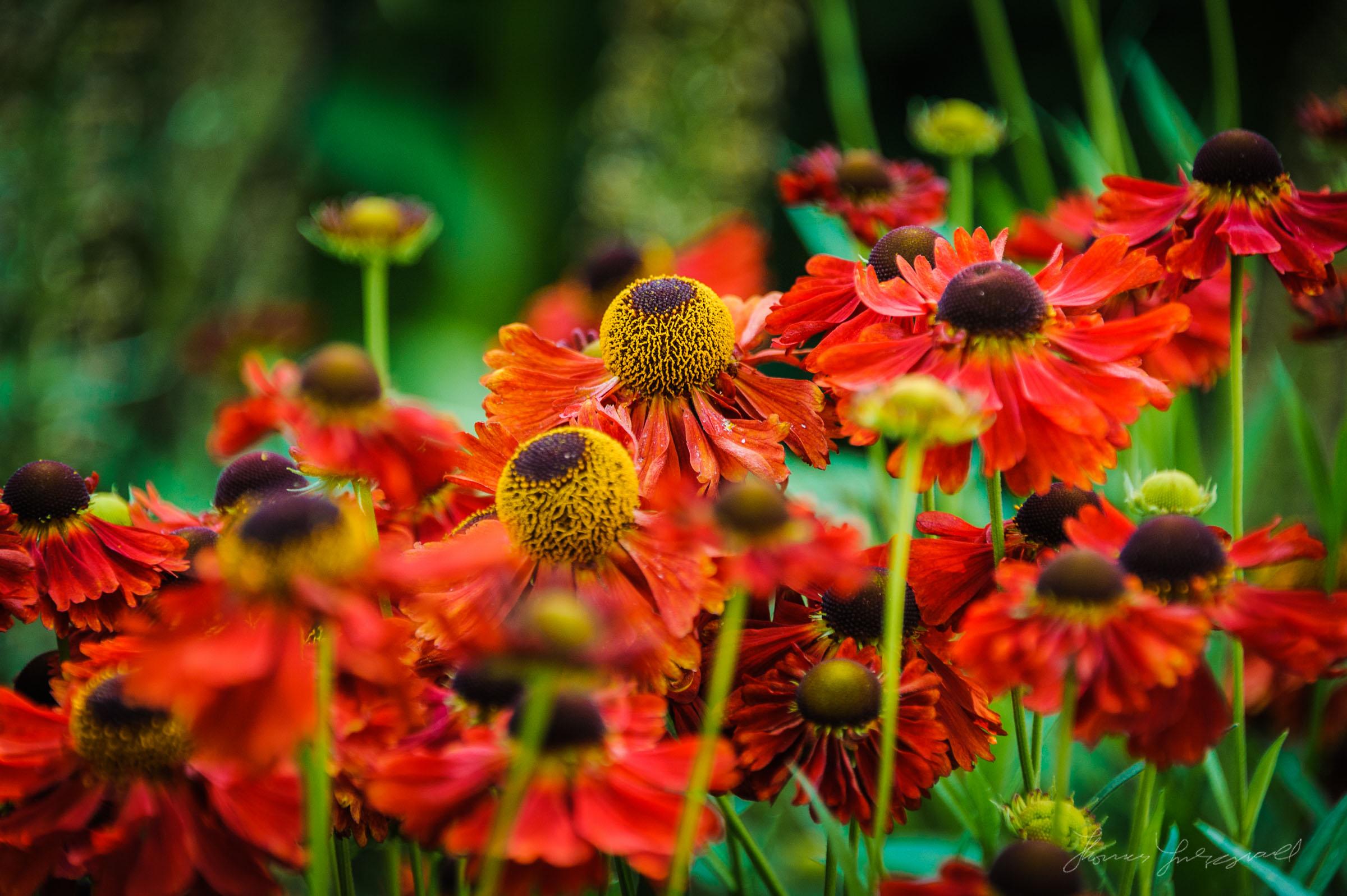 Red Flowers in Dublin's Stephen's Green
