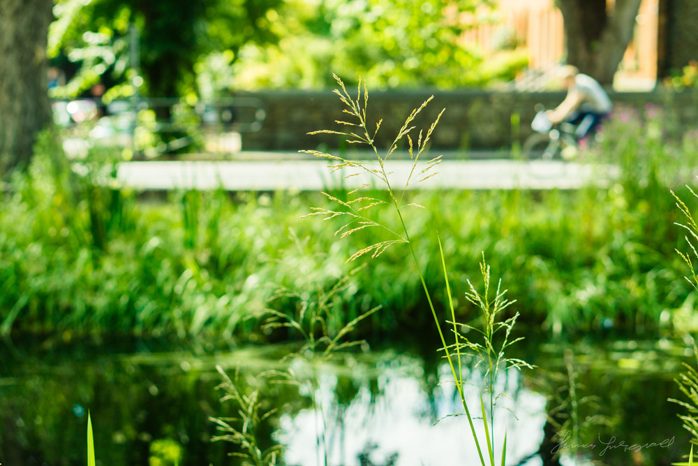 Tall Grass by the Canal