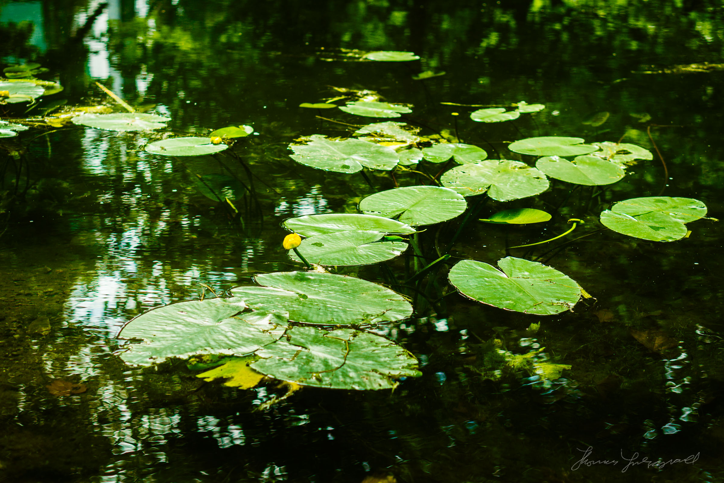 Yellow Lilies and Lilly Pads