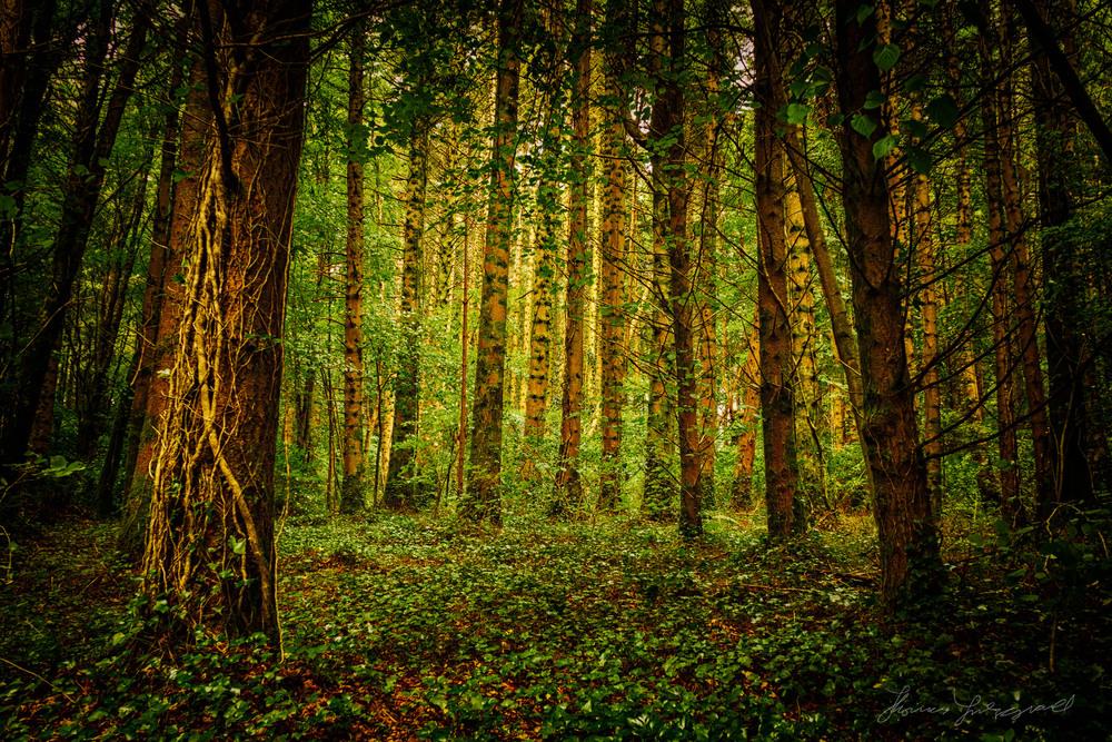 Golden Light in The Trees