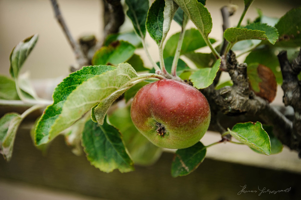 Apple growing on a branch