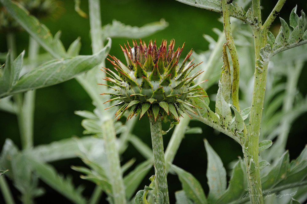 Close-up of a spikey plant
