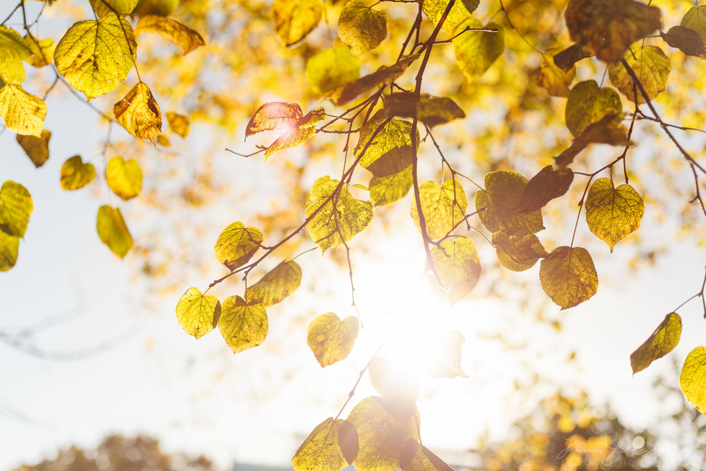 Autumn Light through the golden leaves on a Tree - Dublin City, Ireland