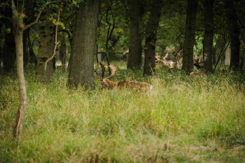 Pheonix-Park-Deer-02.jpg