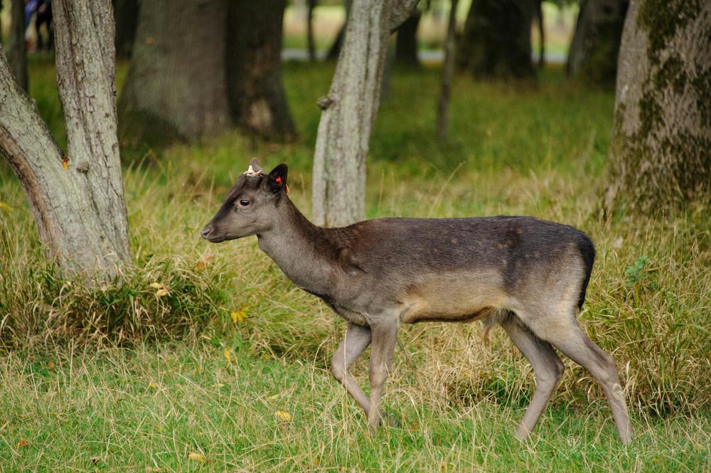 Pheonix-Park-Deer-05.jpg