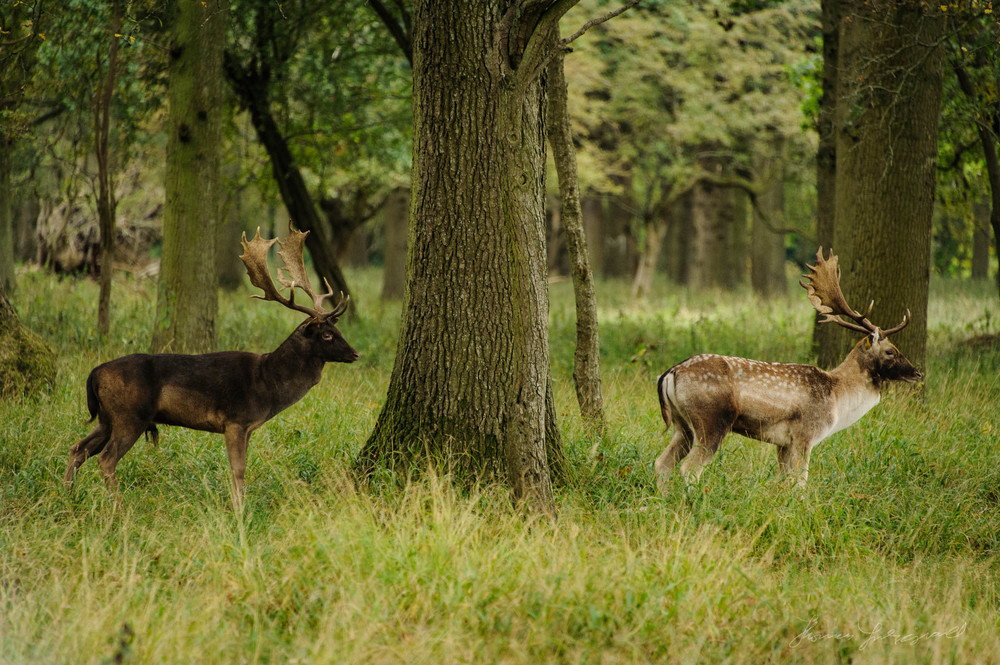 Pheonix-Park-Deer-08.jpg