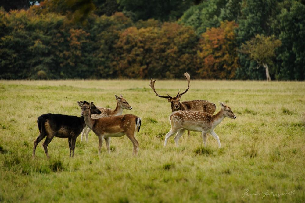 Pheonix-Park-Deer-11.jpg
