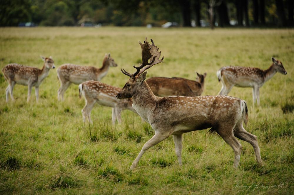 Pheonix-Park-Deer-13.jpg
