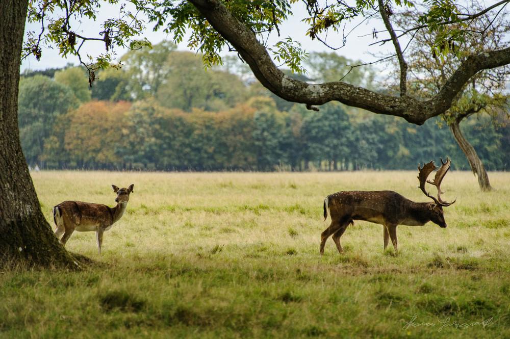 Pheonix-Park-Deer-15.jpg