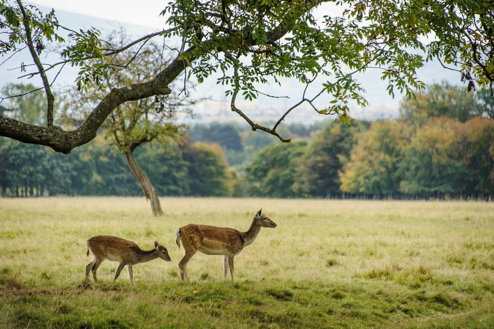 Pheonix-Park-Deer-14.jpg