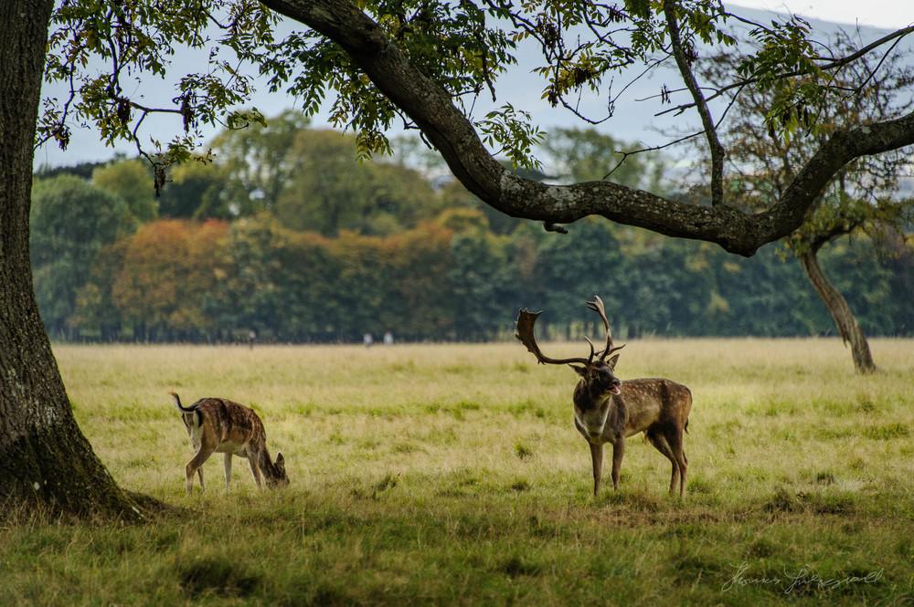 Pheonix-Park-Deer-19.jpg