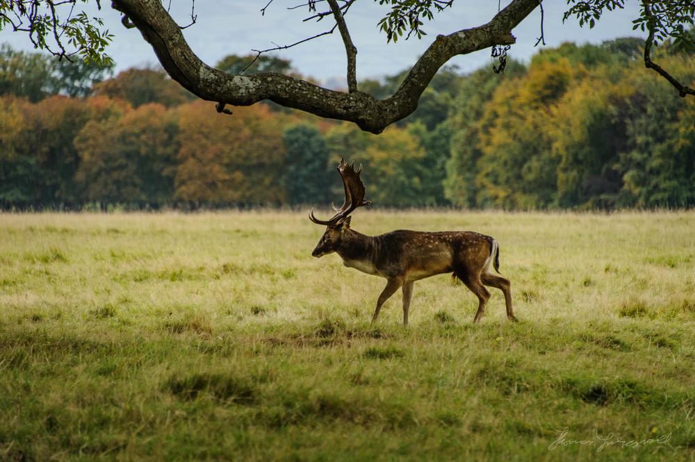 Pheonix-Park-Deer-22.jpg