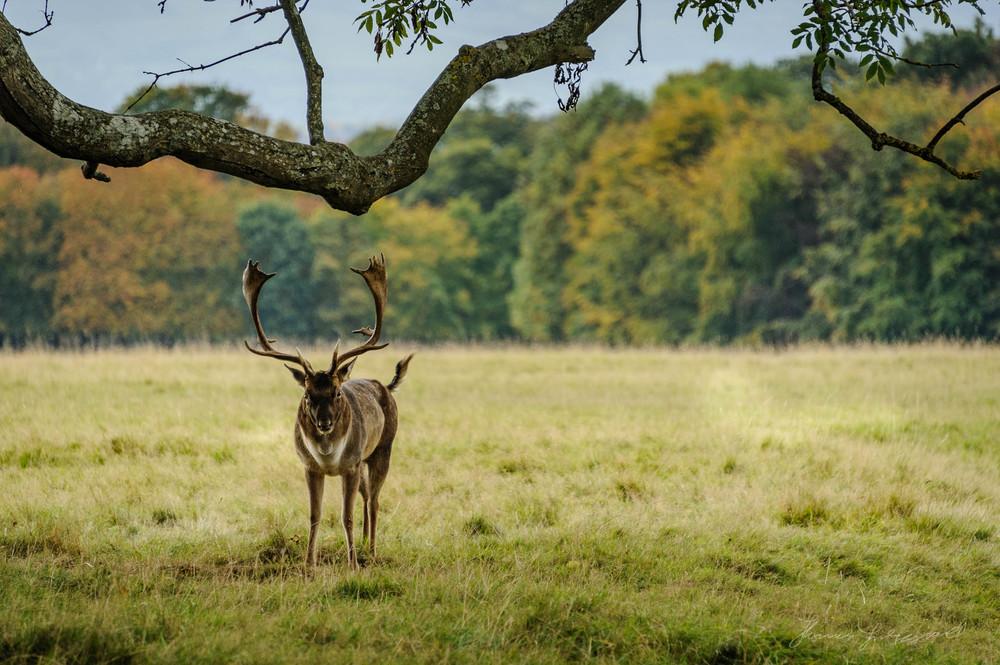 Pheonix-Park-Deer-23.jpg