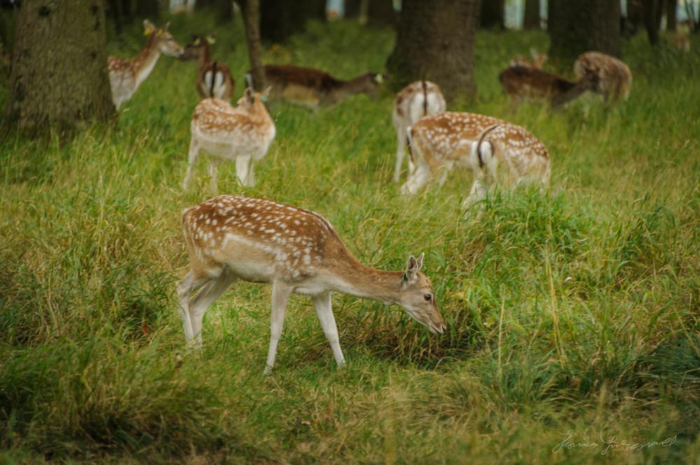 Pheonix-Park-Deer-30.jpg